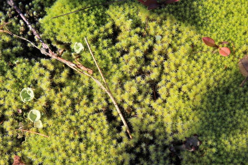 Dywan miękki mech na lasowy podłogowy jarzębatym z światłem i cieniem z kijem, liśćmi i grzybem w jesieni, zdjęcie stock