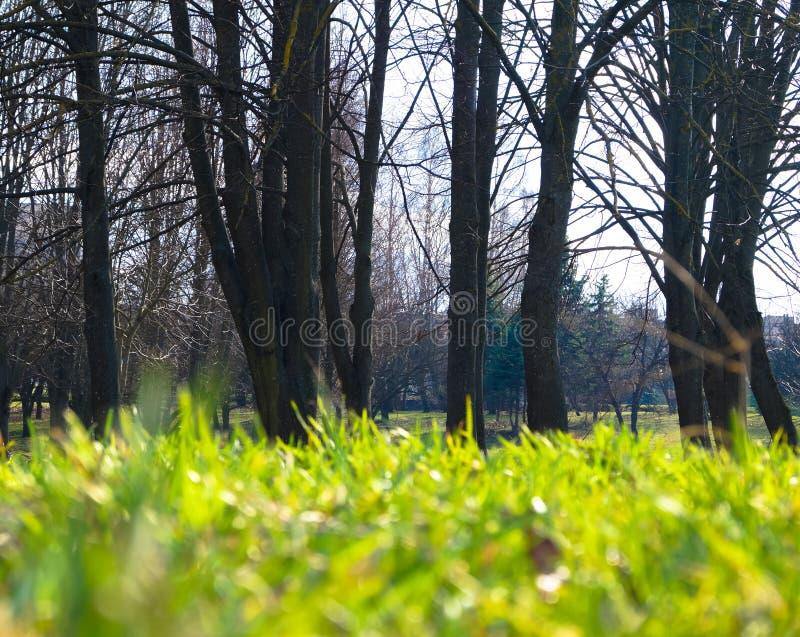 dywan zielona młoda wiosny trawa w parku zdjęcie stock