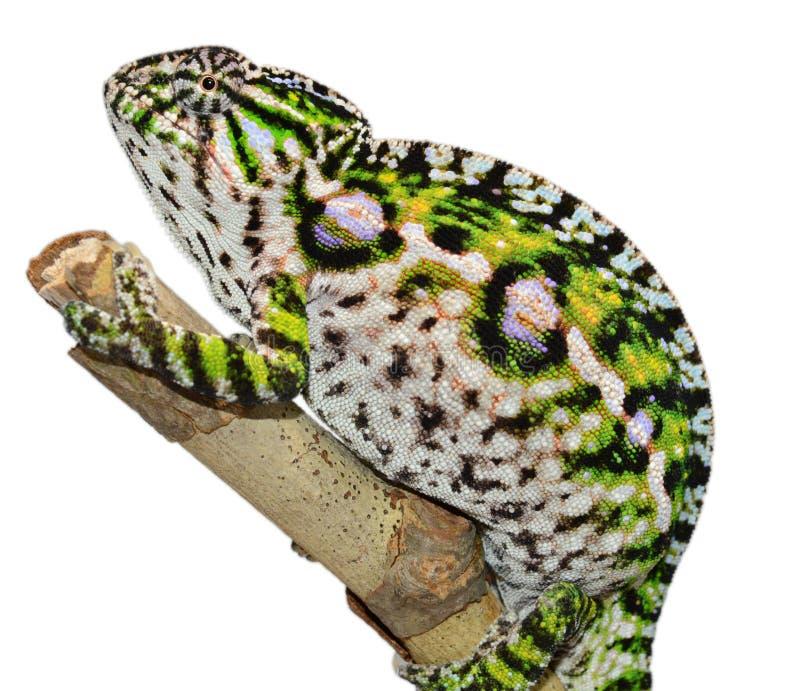 Dywanowy kameleon zdjęcie royalty free