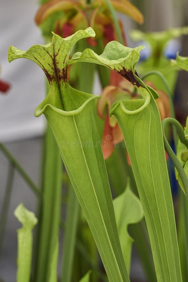 Dzbanecznik mięsożerna roślina obraz stock