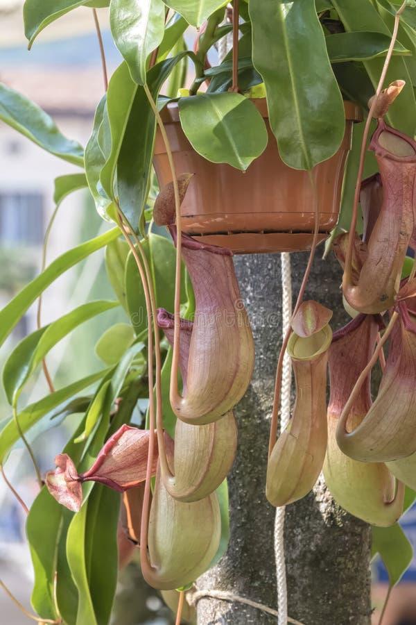 Dzbanecznik mięsożerna roślina zdjęcia royalty free