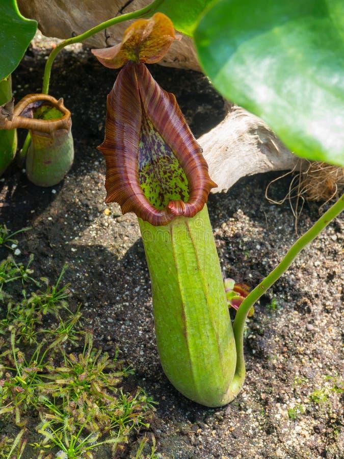 Dzbanecznika Truncata miotacza rośliny pułapki oklepiec w ogródzie botanicznym zdjęcia stock