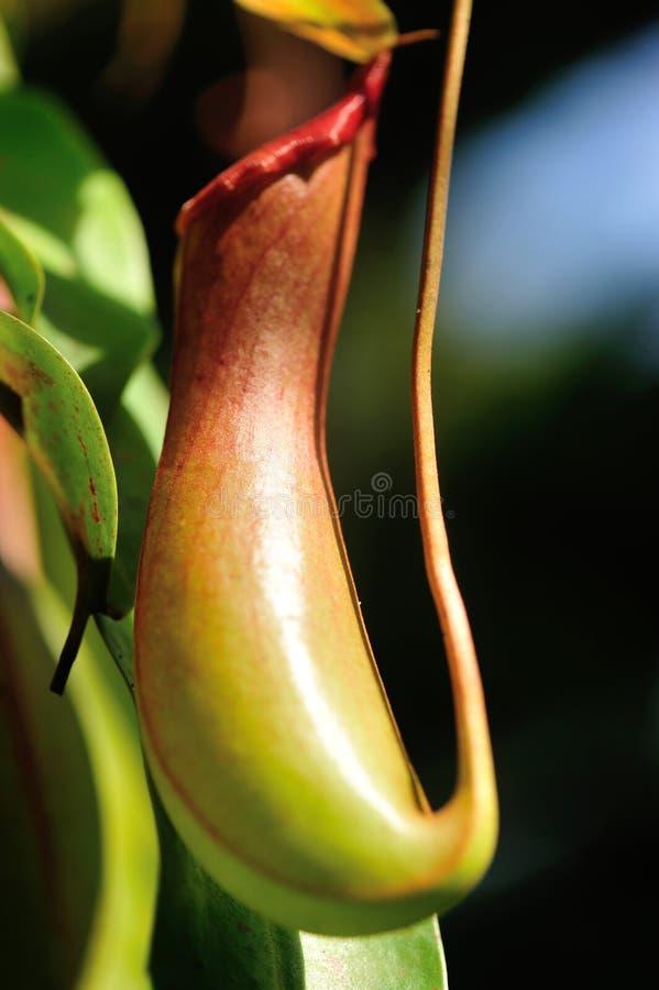 Dzbanecznika villosa - miotacz rośliny obraz royalty free