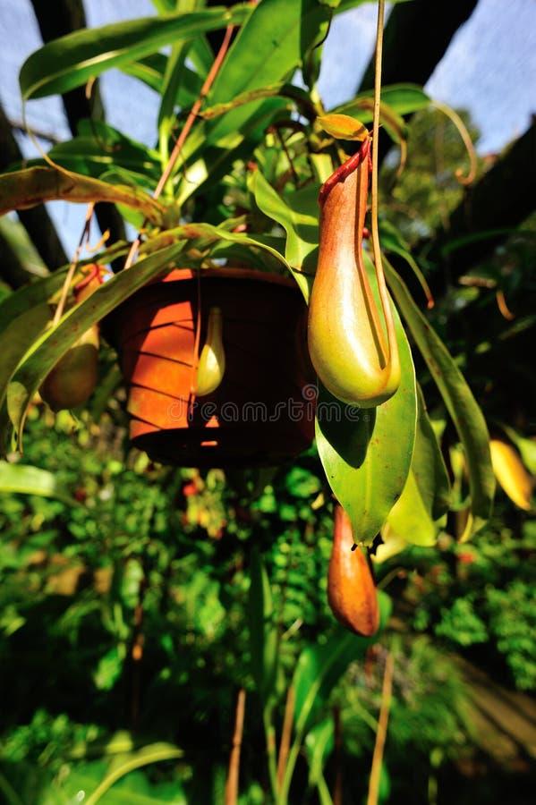 Dzbanecznika villosa - miotacz rośliny fotografia stock