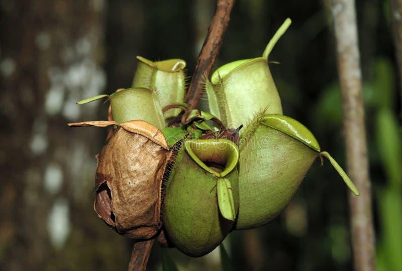 Dzbaneczniki, także znać jako tropikalnego miotacza rośliny, są genus mięsożerne rośliny obrazy stock