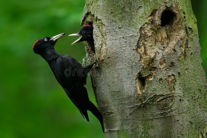 Dzięcioł z potomstwami w gniazdowej dziurze Czarny dzięcioł w zielonego lata lasowym dzięciole blisko gniazdowej dziury Przyrody  obraz royalty free