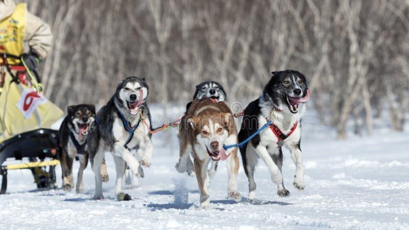 Działająca Alaska sanie psa drużyna Kamchatka sania Psi Ścigać się Beringia zdjęcia stock