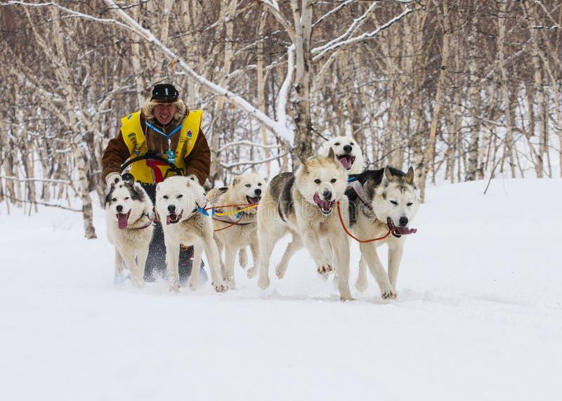 Działająca sanie psa drużyna Kamchatka sania psa rasa Beringia obrazy stock