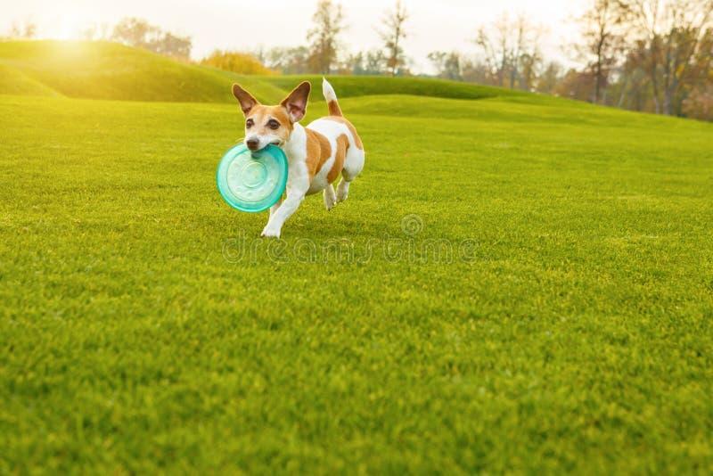 Działający śmieszny pies z zabawkarski bawić się outside obrazy stock
