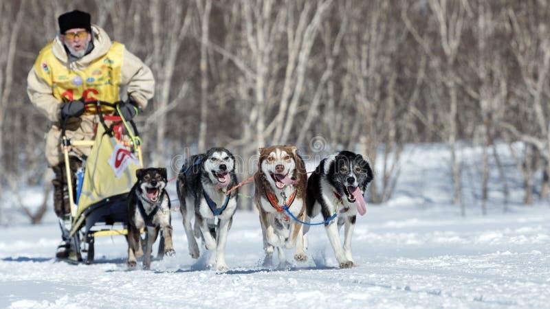 Działający Alaski sanie psa drużyny Kamchatka musher Rosyjska filiżanka sanie psa rasa, Kamchatka sania Psi Ścigać się Beringia fotografia royalty free