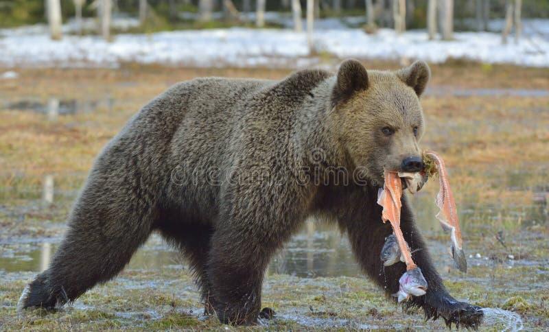 Działający Brown niedźwiedź z ryba zdjęcia royalty free