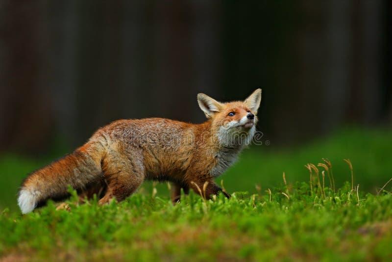 Działający Czerwony Fox, Vulpes vulpes przy zielonym lasem, fotografia stock