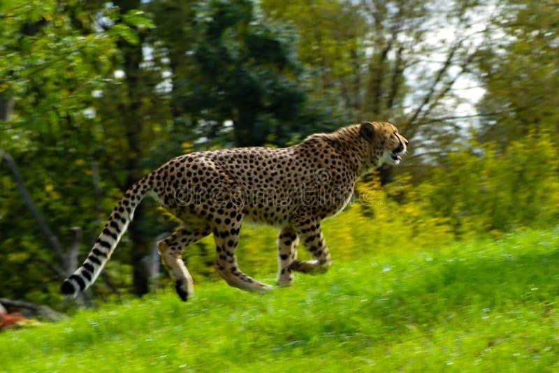 Działający gepard obrazy stock