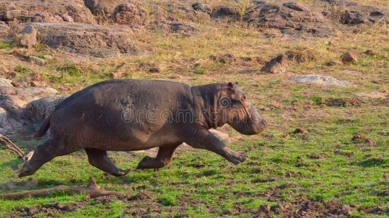 Działający hipopotam obrazy stock