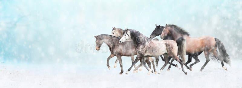 Działający konia stado w śniegu, zima sztandar