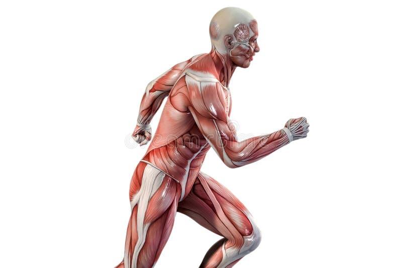 Działający mężczyzna anatomii wzrok ilustracja wektor