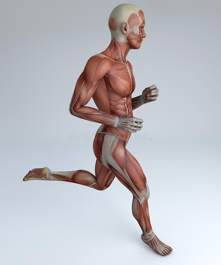 Działający mężczyzna, mięśniowy system ilustracji