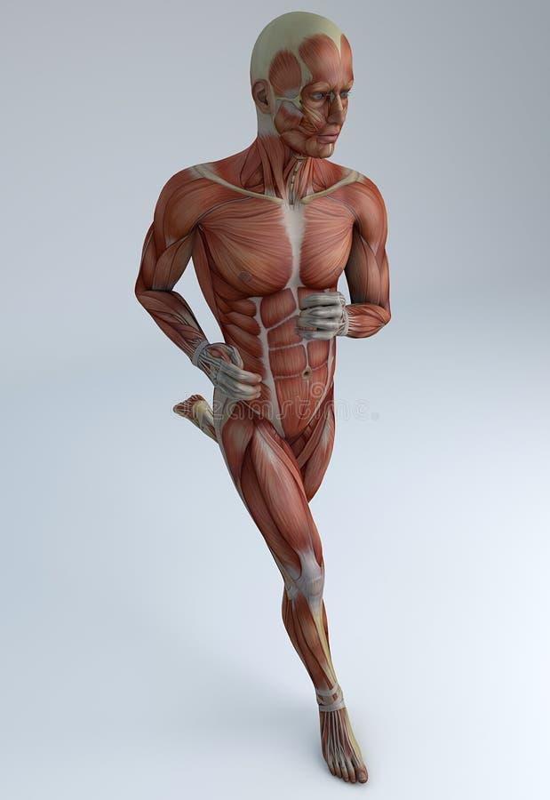 Działający mężczyzna, mięśniowy system royalty ilustracja