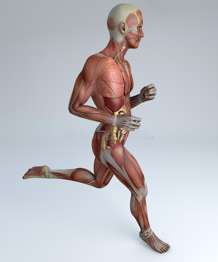 Działający mężczyzna, mięśniowy system, trawienny system, anatomia ilustracja wektor