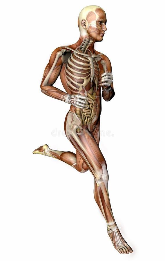 Działający mężczyzna, mięśniowy system, trawienny system, anatomia ilustracji