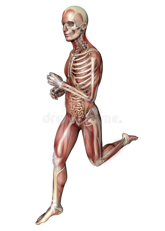Działający mężczyzna, mięśniowy system, trawienny system, anatomia royalty ilustracja