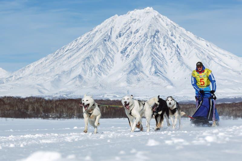 Działający musher Ryabuhin Denis Kamchatka sania Psi Ścigać się Beringia fotografia royalty free