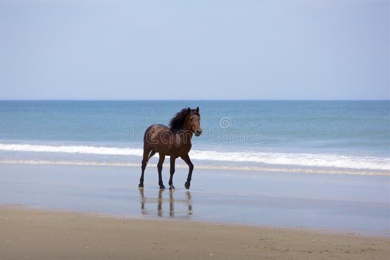 Działający ogier na plaży zdjęcie royalty free