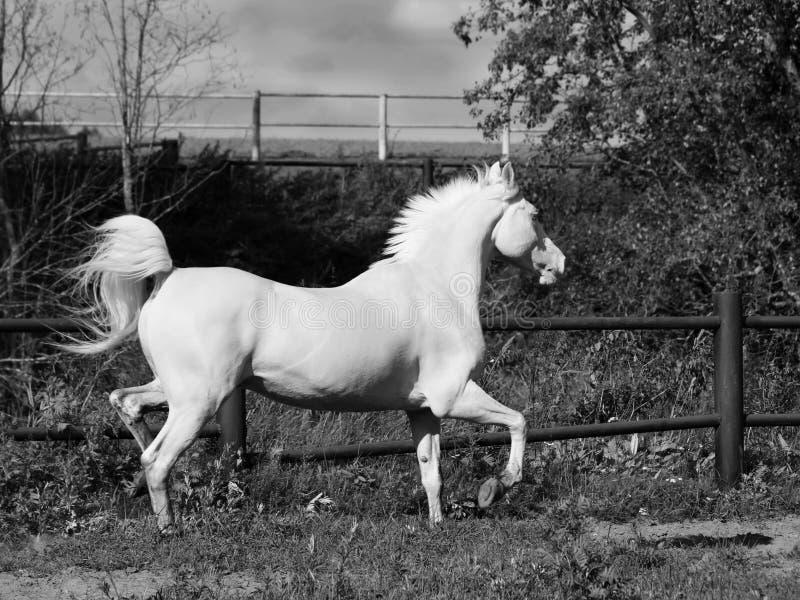 Działający palomino koń w padoku zdjęcia royalty free