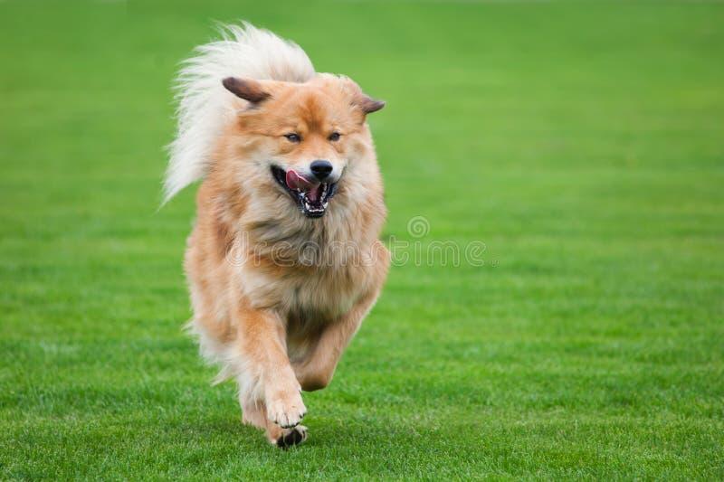 Działający pies zdjęcie stock