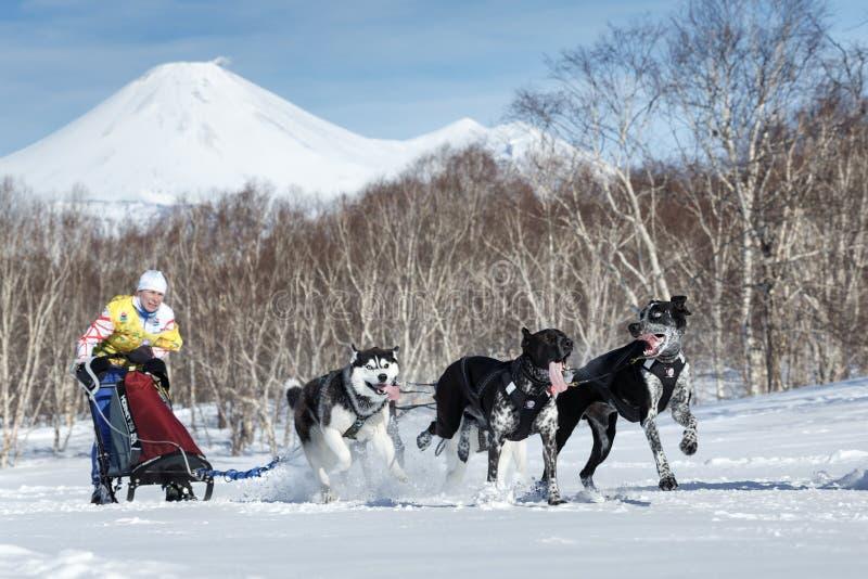 Działający sanie psa drużyny Kamchatka musher Orehova Natalia Kamchatka sania Psi Ścigać się Beringia obrazy royalty free