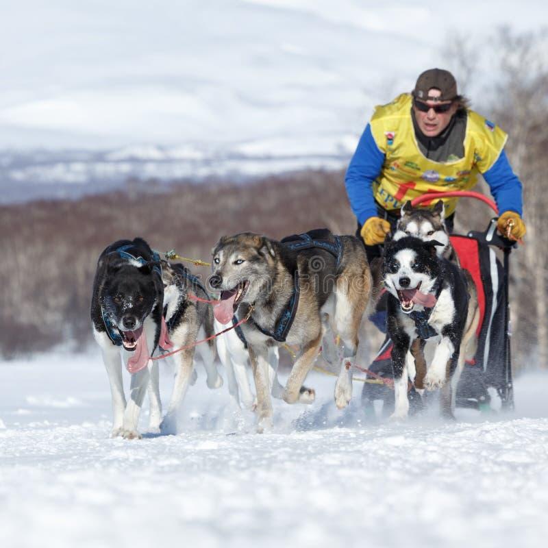 Działający sanie psa drużyny Kamchatka musher Semashkin Andrey Kamchatka sania Psi Ścigać się Beringia fotografia royalty free