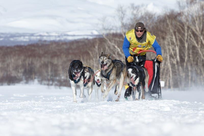 Działający sanie psa drużyny Kamchatka musher Semashkin Andrey Kamchatka sania Psi Ścigać się Beringia, Rosyjska filiżanka sania  obrazy royalty free