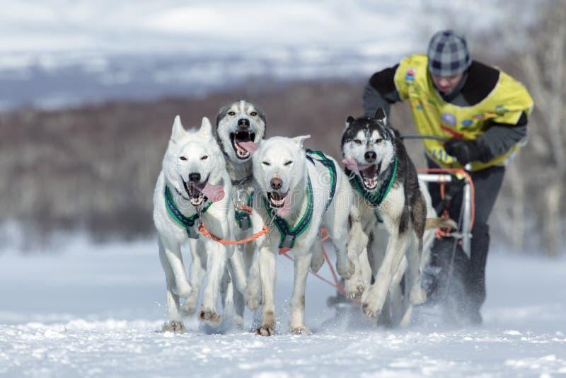 Działający sanie psa drużyny Kamchatka musher Sitnikov Alexey Kamchatka sania Psi Ścigać się Beringia obraz royalty free