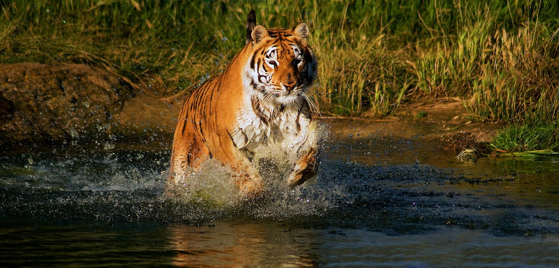 Działający tygrys zdjęcia royalty free