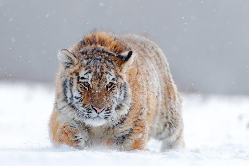 Działający tygrys z śnieżną twarzą Tygrys w dzikiej zimy naturze Amur tygrysi bieg w śniegu Akci przyrody scena, niebezpieczeństw obrazy royalty free