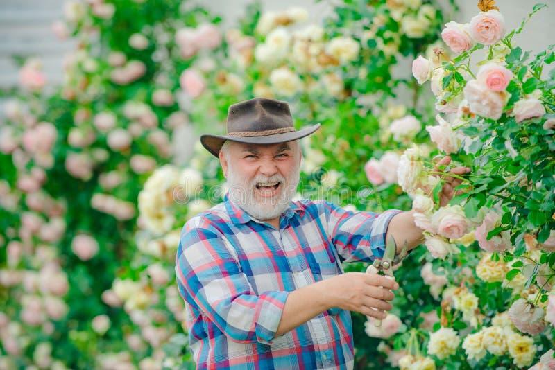 Dziadek działanie w ogródzie nad róży tłem Kwiatu podlewanie i opieka szcz??liwa ogrodniczka z wiosna kwiatami zdjęcie stock