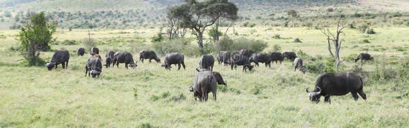 Dzicy Afrykańscy bizony pasa w sawannie obrazy stock