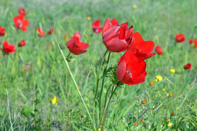 Dzicy anemonów kwiaty obraz stock