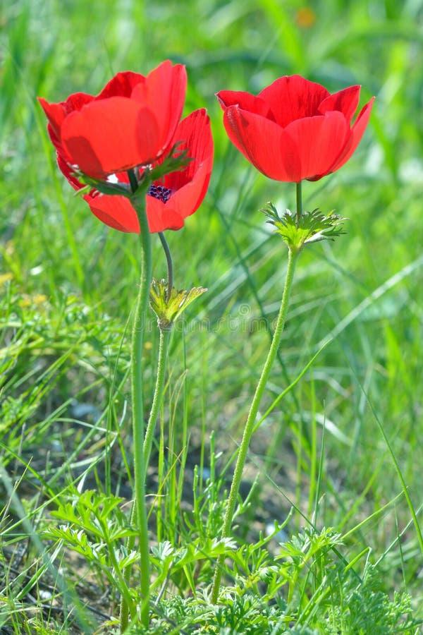 Dzicy anemonów kwiaty zdjęcia stock