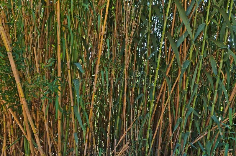 Dzicy bambusy jesień tło wzgórza natury drzewo scenerii odgórni drzewa dwa obrazy stock