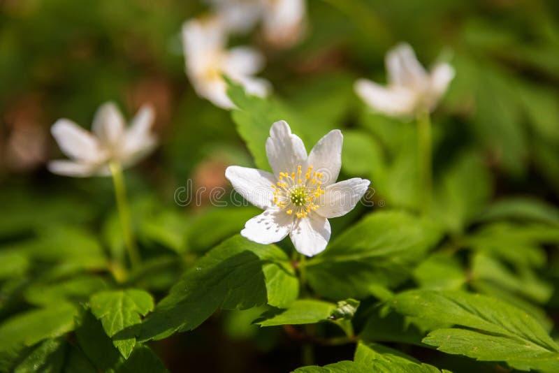 Dzicy biali kwiaty w lesie w wiośnie zdjęcia royalty free