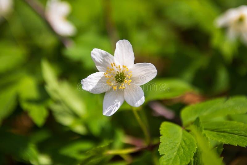Dzicy biali kwiaty w lesie w wio?nie obraz royalty free