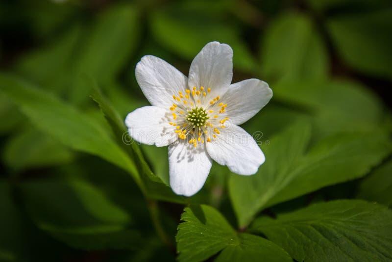 Dzicy biali kwiaty w lesie w wio?nie fotografia stock