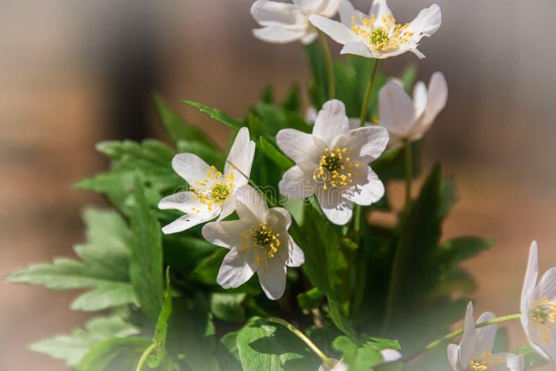 Dzicy biali kwiaty w lesie w wio?nie zdjęcie stock