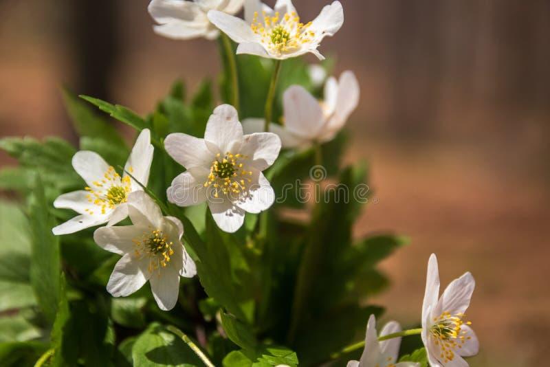 Dzicy biali kwiaty w lesie w wio?nie zdjęcia royalty free