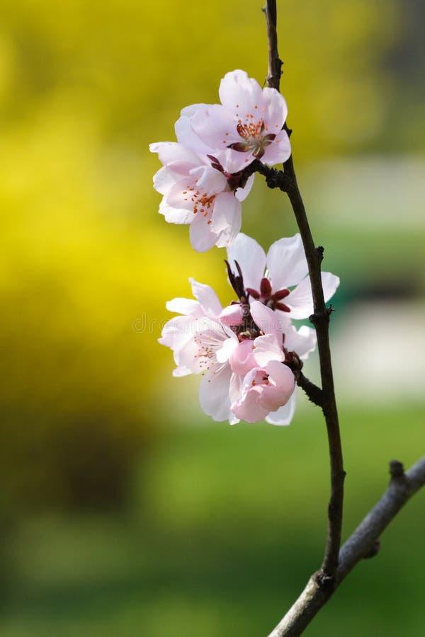 dzicy czereśniowi kwiaty zdjęcie stock
