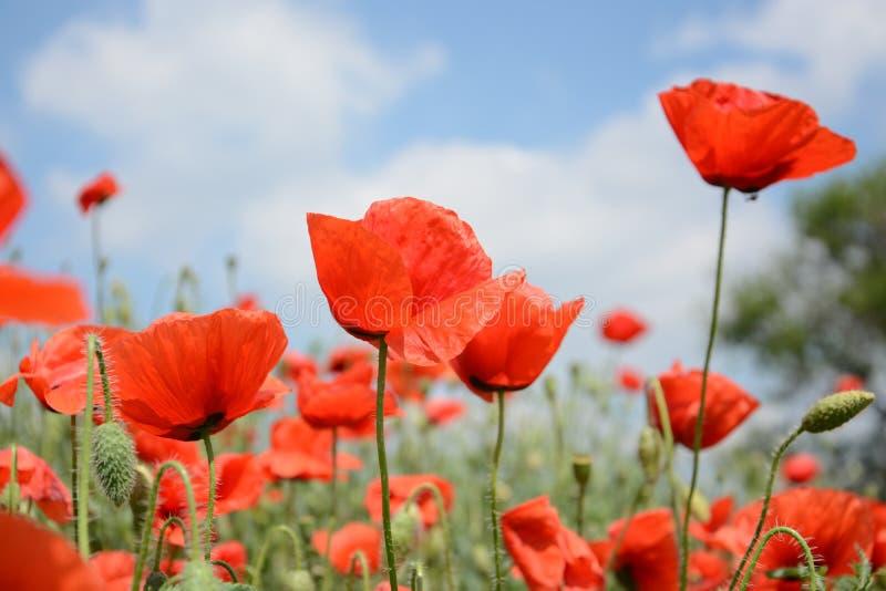 Dzicy czerwoni maczki kwitnie w wiośnie w łące na tle niebieskie niebo z chmurami, dla reklamować, sztandar, copyspace zdjęcie stock