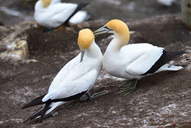 Dzicy gannets w koperczaki przy Muriwai, Nowa Zelandia obrazy royalty free