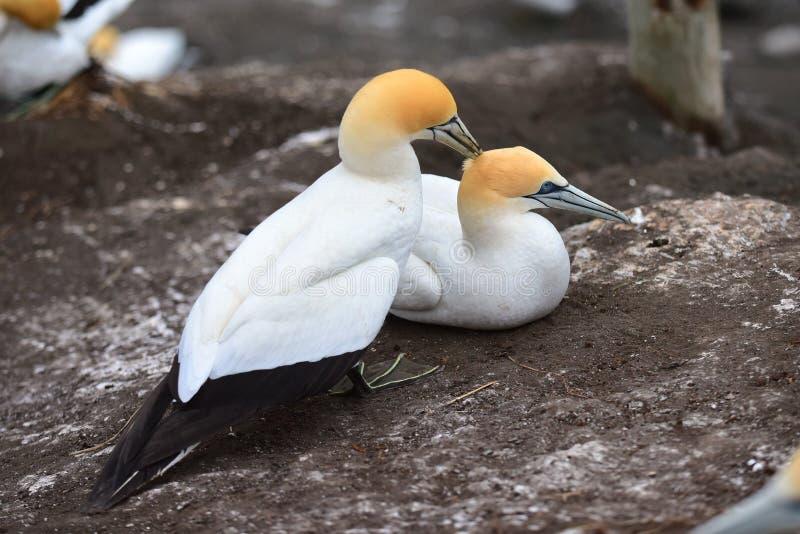 Dzicy gannets w koperczaki przy Muriwai, Nowa Zelandia obrazy stock