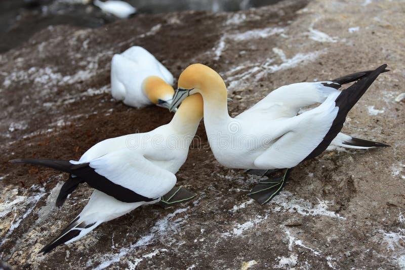 Dzicy gannets w koperczaki przy Muriwai, Nowa Zelandia fotografia royalty free